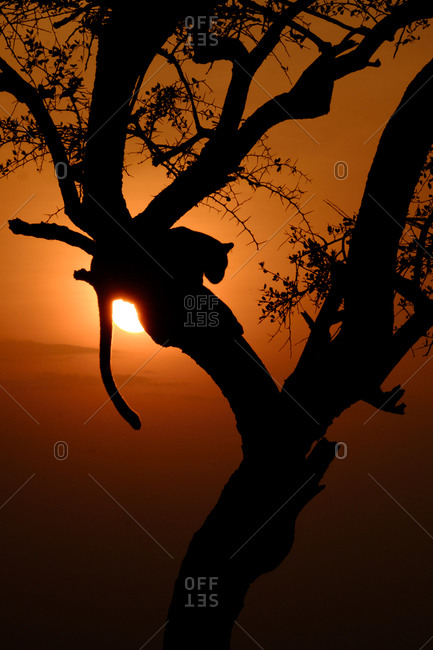 Leopard in a tree at sunset, Kenya