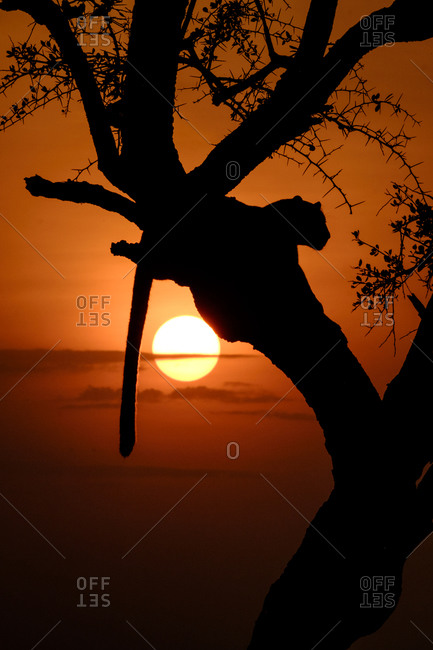 Leopard in tree with glowing sunset