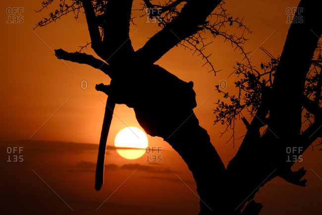 Leopard in a tree at sunset in Kenya