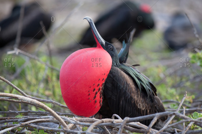 Portrait of a male great frigatebird (Fregata minor) in mating display, North Seymour Island, Galapagos Archipelago, Ecuador