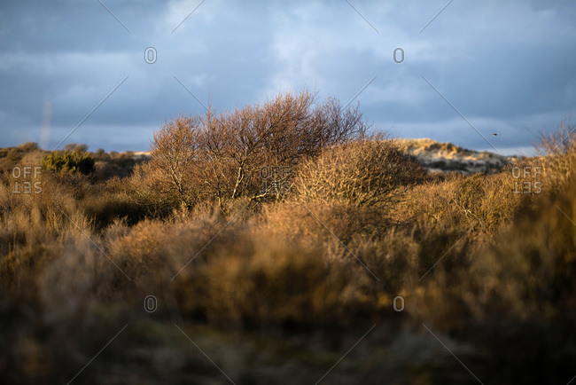 Winter bushes in dune landscape with stormy sky, Zuid-Kennemerland National Park, The Netherlands