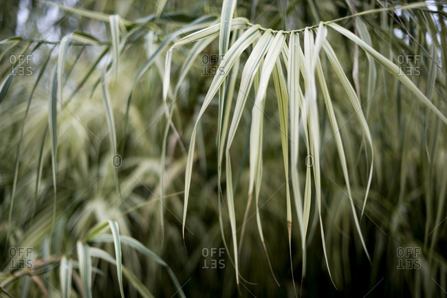 Close up of palm tree leaves