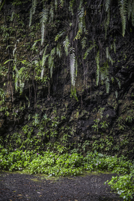 Rocky cliff covered in hanging ferns, Mo'orea Island, French Polynesia