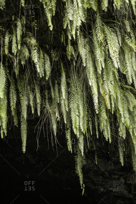 Ferns hanging in a cave, Mo'orea Island, French Polynesia