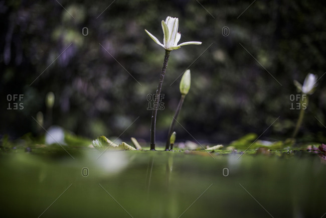 Close up of blooming water lilies
