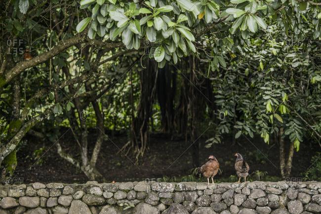 Chickens on a rock wall, Mo'orea Island, French Polynesia