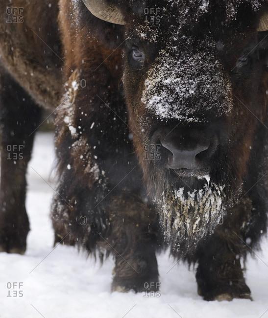 American bison close up shot