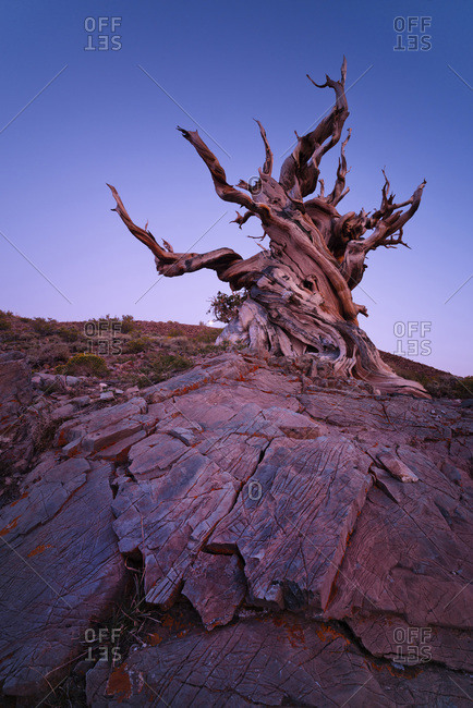 Ancient Bristlecone Pine Forest, California, USA