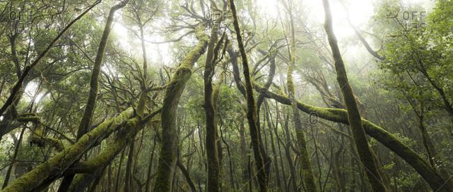 Bizarre Forrest with laurel on La Gomera, Canary islands, Spain