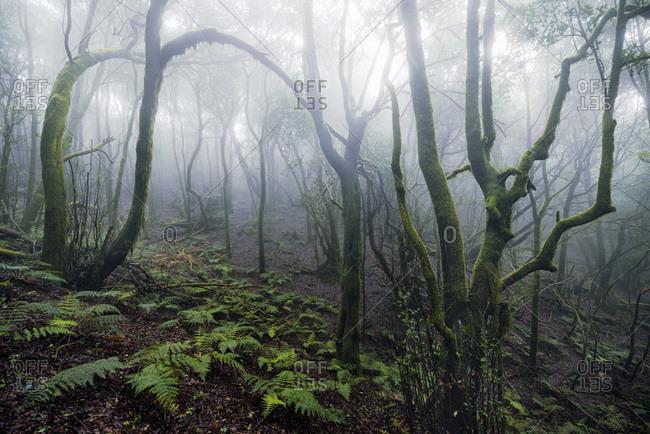 Forrest on La Gomera, Canary islands, Spain