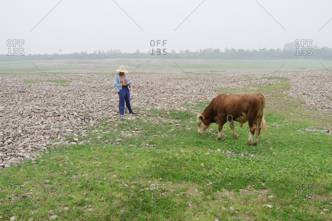 Herder reading a book while cow grazes