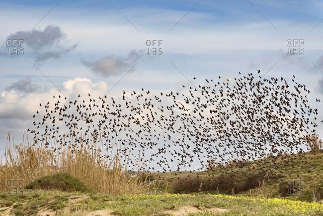 Sicily, flock of flying starlings