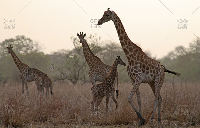 Chad, Giraffes with young animals in the evening