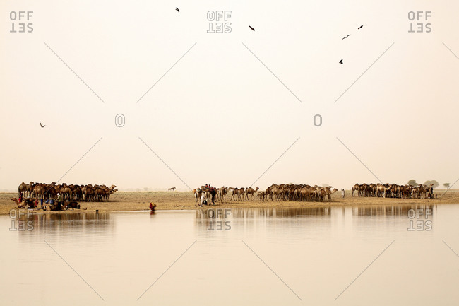 Chad, Nomads with their herds of camels on lake Gara