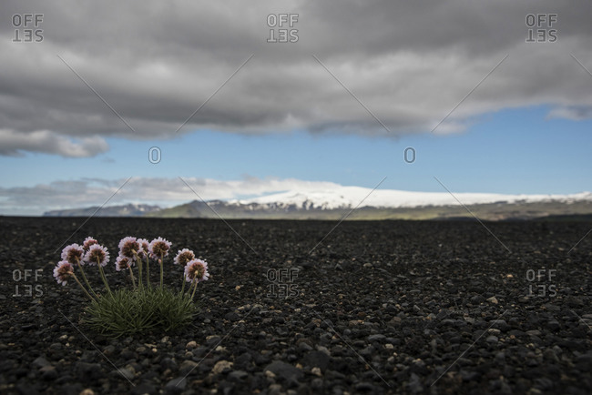 Iceland, blooming flowers in gravel at volcano Eyjafjallajokull