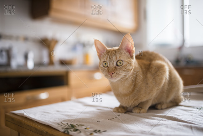 Portrait of starring cat sitting on kitchen table