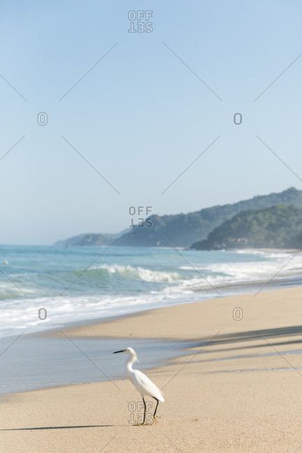 A lone egret on beach in Mexico