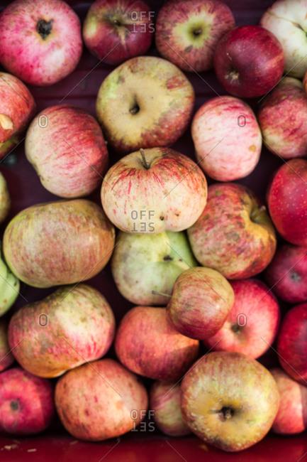 A harvest of apples - Offset