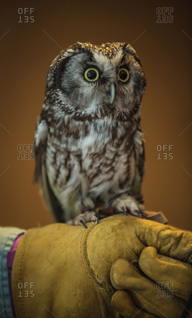 Owl perched on a person's gloved hand