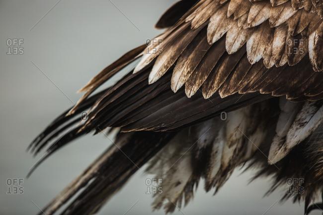 Tail feathers of a juvenile bald eagle