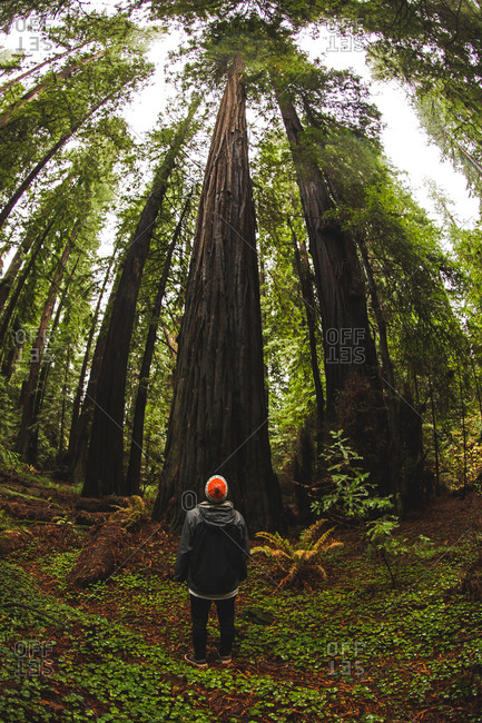 Man looking up at red wood trees