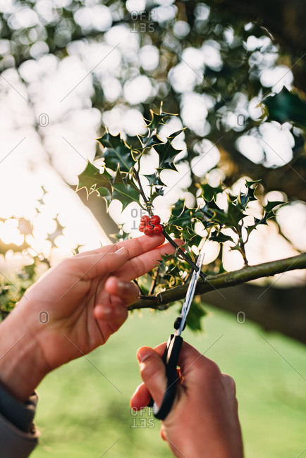 Hands clipping sprig of holly off branch