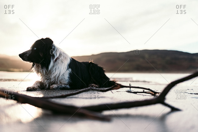 Wet dog lying on beach at dusk