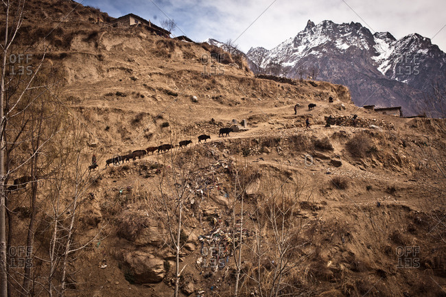 Cattle on a mountain ridge in Humla, Nepal