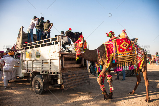Rajasthan, India - January 10, 2016: Camel decorated for competition Bikiner Camel Fair, Rajasthan, India