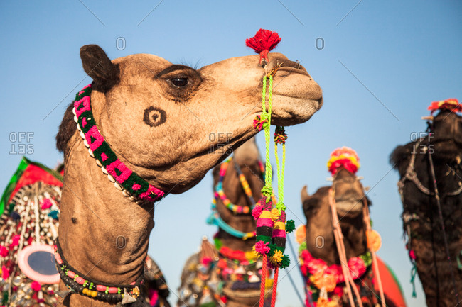 Camel decorated for competition Bikiner Camel Fair, Rajasthan, India