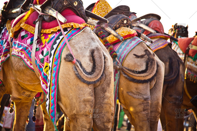 Camels decorated for competition Bikiner Camel Fair, Rajasthan, India