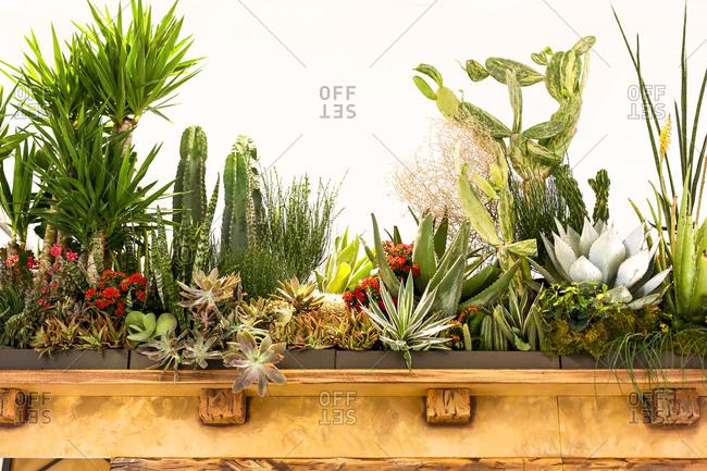Cactus plants on display along a wood shelf