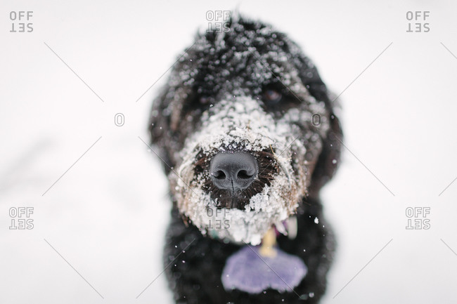 Close-up of a dog snout covered in icy snow