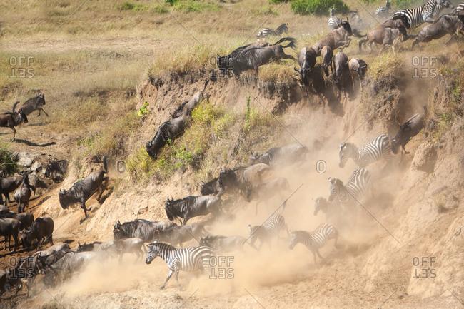 Animal migration through the Masai Mara, Kenya