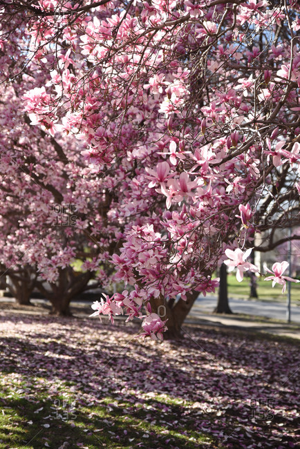 Magnolia tree in full bloom with pink flowers