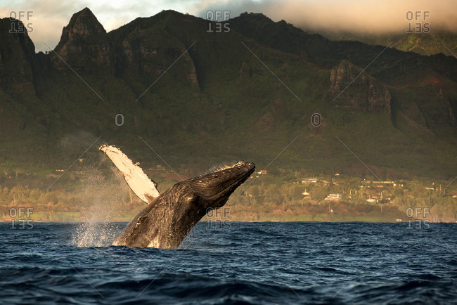 Humpback whale jumping out of water, Kauai island, Hawaii islands, USA