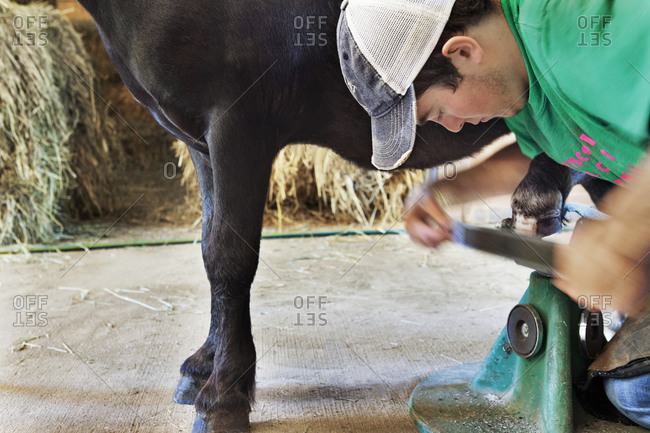 A farrier, young man, trims the hoof of a Miniature Horse with a hoof rasp while the horse's hoof balances on a hoof stand.
