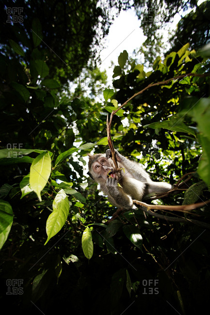 A monkey in Monkey Forest Bali, the attack action