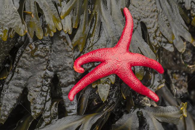 Blood star starfish on kelp, Salt Creek Recreation Area,  Port Angeles, Washington.
