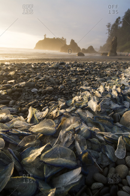 Wind sail jellyfish washed on beach shoreline in the Olympic National Park, Washington.