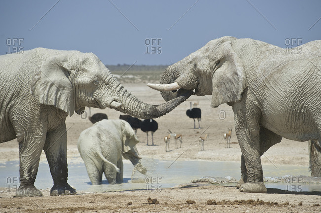 Elephants, ostriches, and springbok at the Okaukuejo Waterhole in Etosha National Park, Namibia