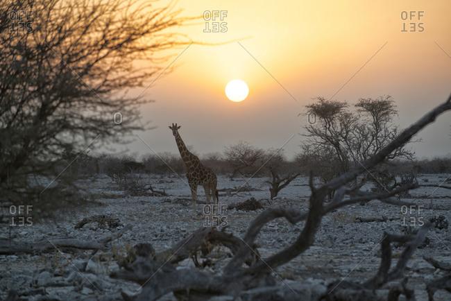 A giraffe at the Okaukuejo Camp waterhole in Etosha National Park, Namibia