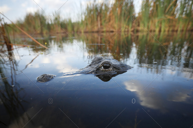 Alligator photo from the Offset Collection