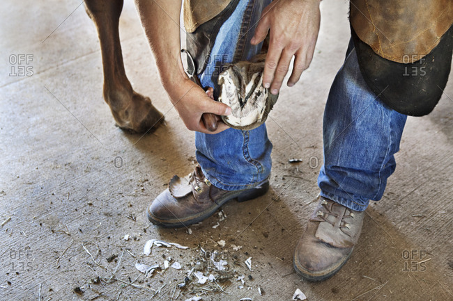A farrier, young man, inspects the frog and and trims the hoof of an American Quarter Horse with hoof knife.