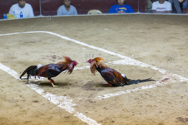 Davao City, Philippines - December 28, 2015: Men watch sparring roosters in a cockfighting ring