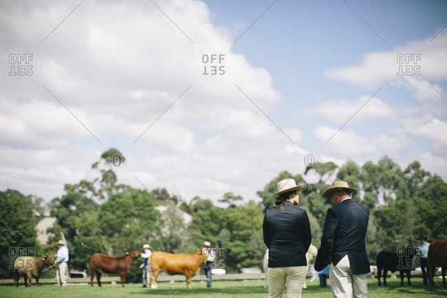 Judges looking at cattle at a livestock show
