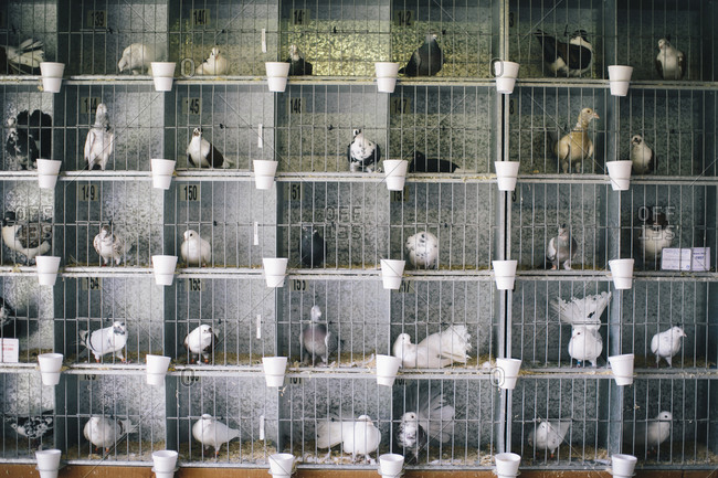 Pigeons in metal cages at a livestock show