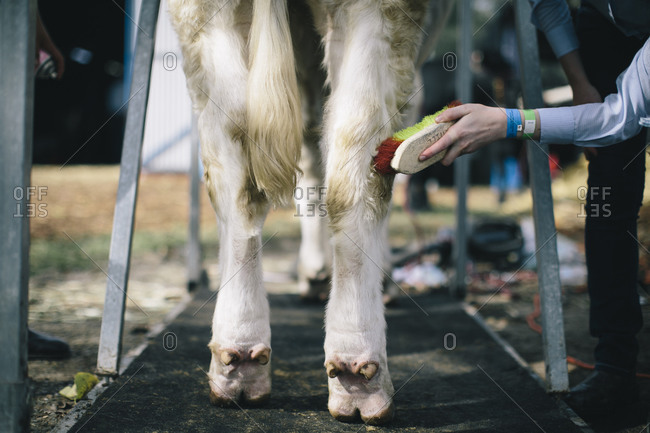 Person brushing the hind legs of a cow during a livestock show
