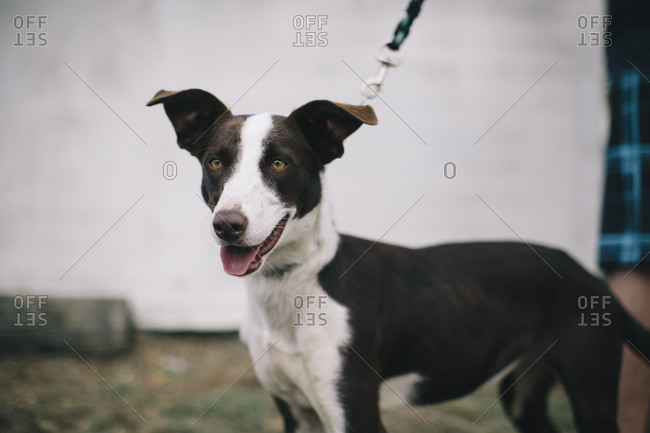 Dog on a leash panting happily