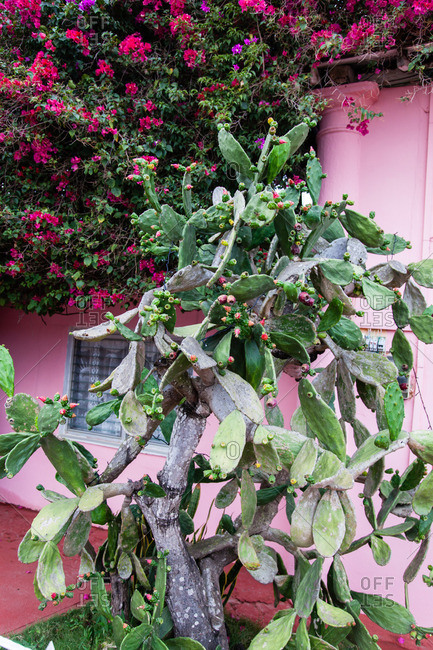 Large old prickly pear cactus growing in front of a pink house